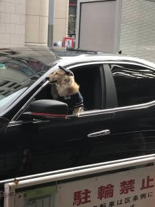 Dog dressed as chauffeur